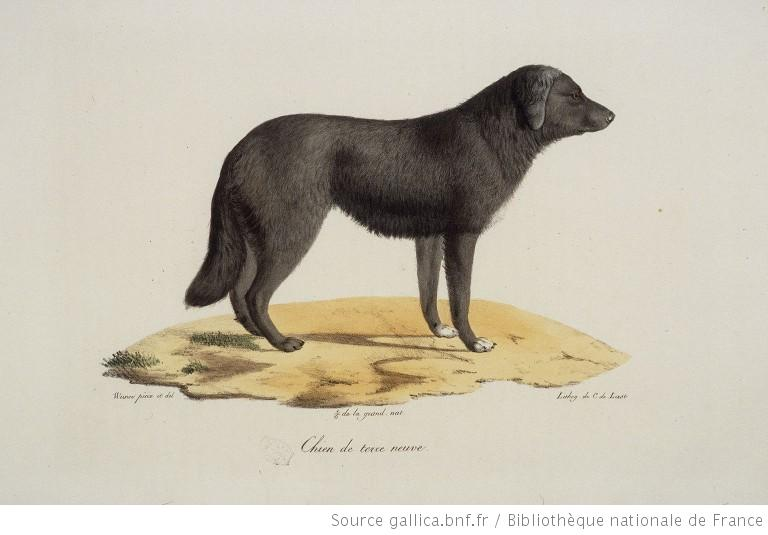 St. John's Water Dog | Natural History | Page 7