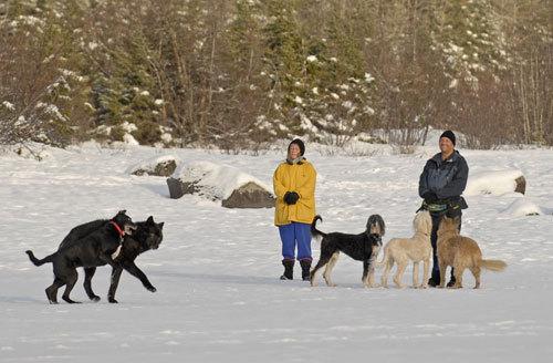 Romeo, villisusi, joka ei pelännyt ihmisiä eivätkä ihmisetkään pelänneet sitä. Alaska, Juneau, noin 2008.