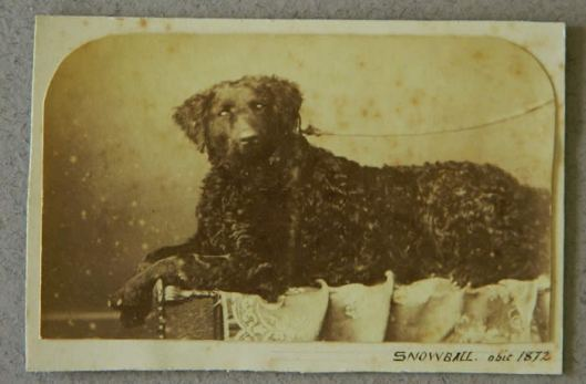 Snowball, a curly coated, 1872
