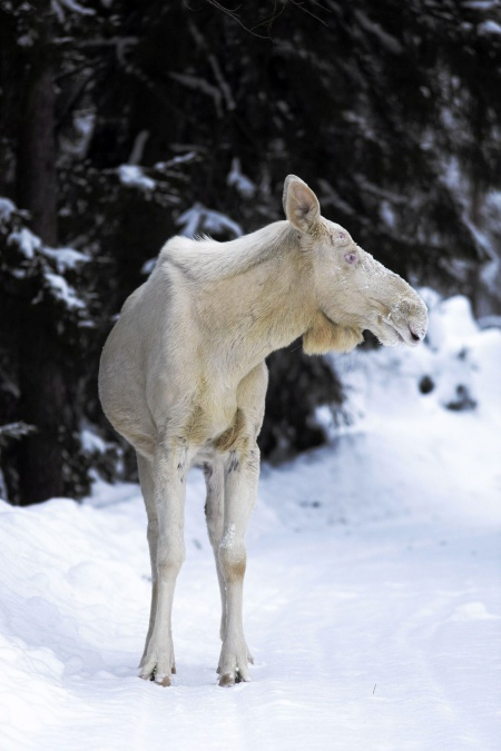 So-called Scandinavian white, a true albino. Photo: Helsingin Sanomat