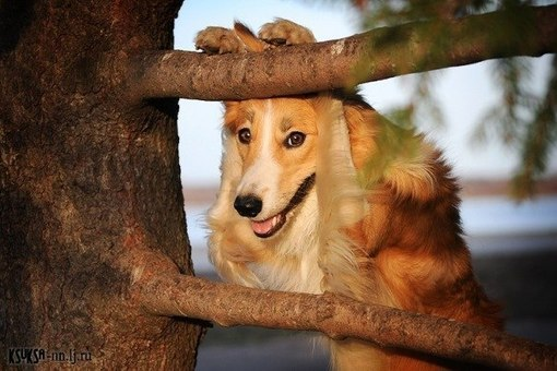 A collie leaning to a branch