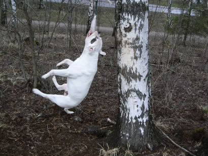 """Vaikka tekee kipeää ei haittaa - tarttumisleikkeihin helposti koulutetava rotu amerikanbulldoggi ei hevillä luovuta """"suupalastaan"""". Kuva: harrieerikäinen.fi"""